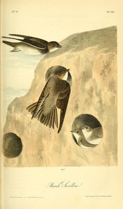 AUDUBON, John James (1785 - 1851). Plate 50, Bank Swallow