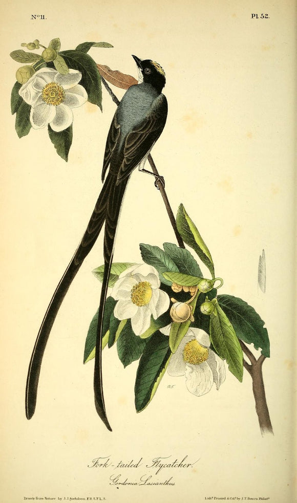 AUDUBON, John James (1785 - 1851). Plate 52, Fork-tailed Flycatcher