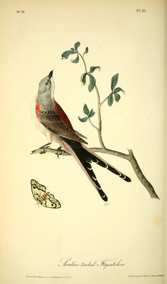 AUDUBON, John James (1785 - 1851). Plate 53, Swallow-tailed Flycatcher