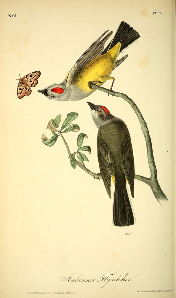 AUDUBON, John James (1785 - 1851). Plate 54, Arkansas Flycatcher