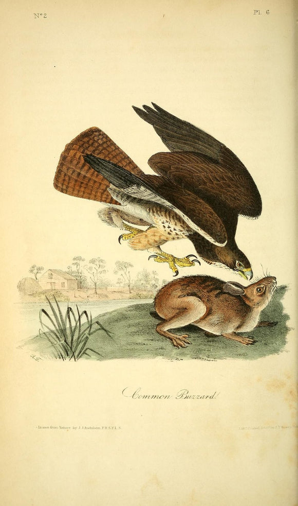 AUDUBON, John James (1785 - 1851). Plate 6, Common Buzzard