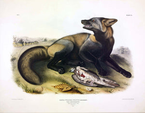 AUDUBON, John James (1785-1851) Vol. I, Plate 6, American Cross Fox