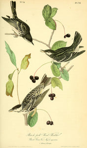 AUDUBON, John James (1785 - 1851). Plate 78, Black-Poll Wood Warbler