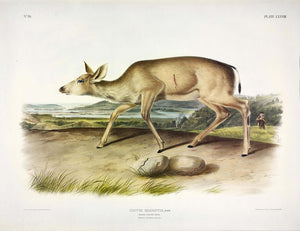 AUDUBON, John James (1785-1851) Vol. II, Plate 78, Black Tailed Deer