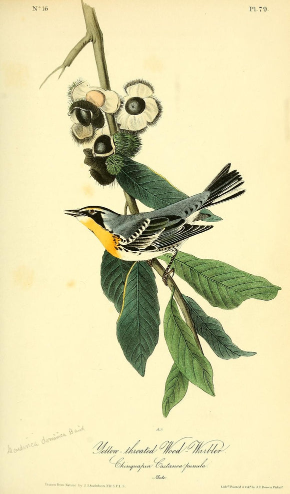 AUDUBON, John James (1785 - 1851). Plate 79, Yellow-Throated Wood Warbler