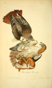 AUDUBON, John James (1785 - 1851). Plate 7, Red-tailed Buzzard