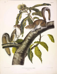 AUDUBON, John James (1785-1851) Vol. I, Plate 7, Carolina Gray Squirrel