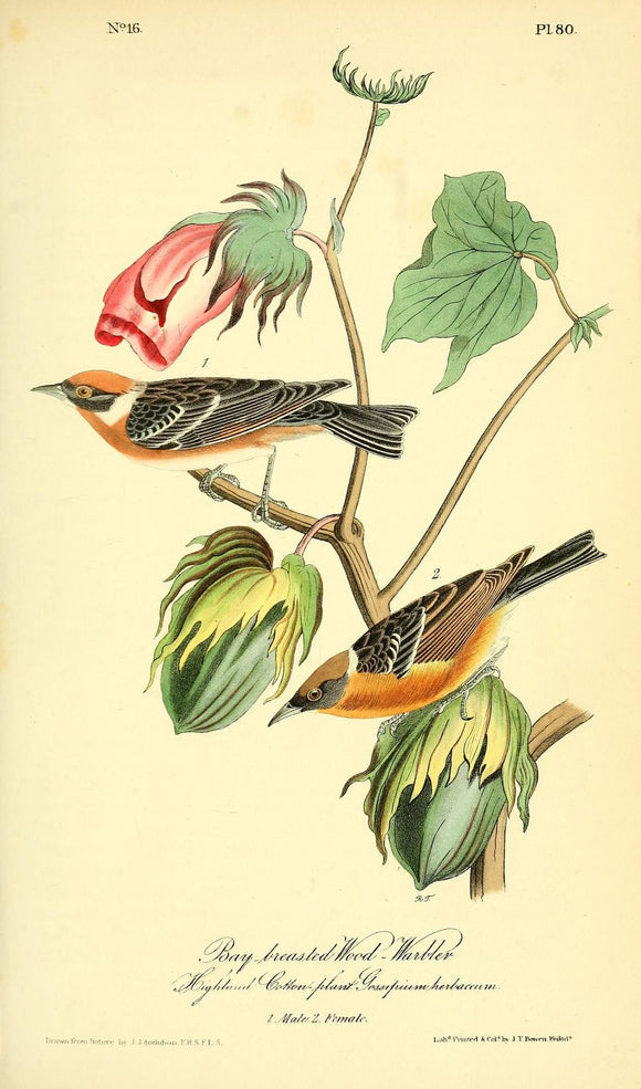 Plate 80, Bay-breasted Wood Warbler