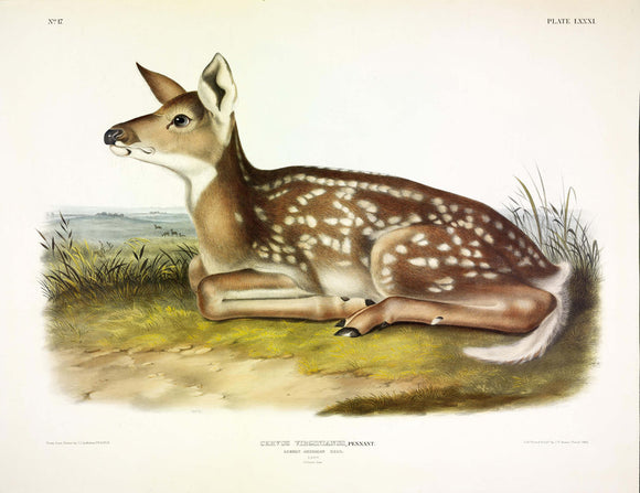 AUDUBON, John James (1785-1851) Vol. II, Plate 81, Common American Deer (Fawn)
