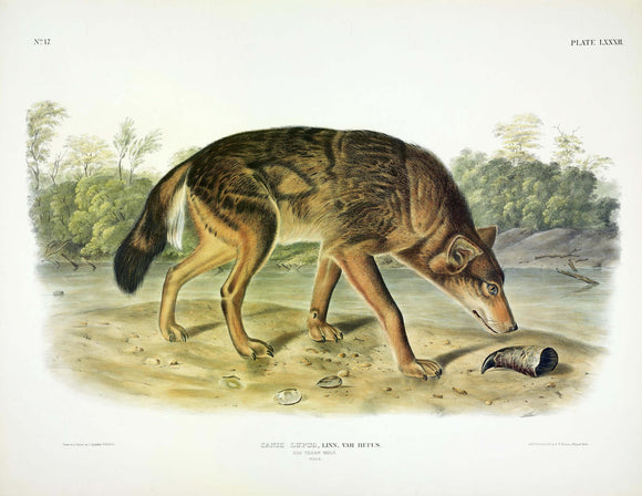 AUDUBON, John James (1785-1851) Vol. II, Plate 082, Red Texan Wolf