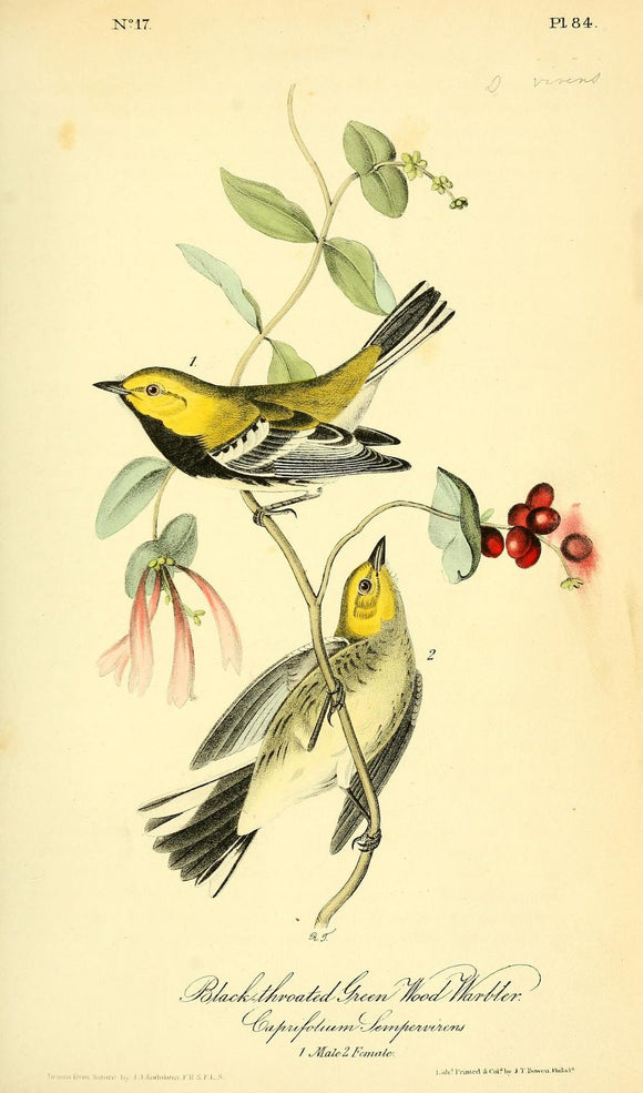 AUDUBON, John James (1785 - 1851). Plate 84, Black-throated Green Wood Warbler