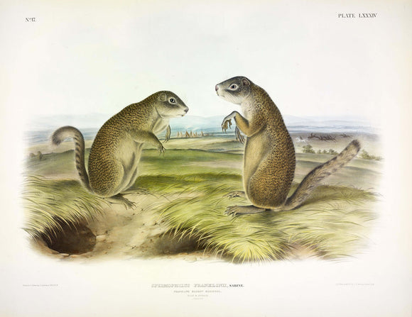 AUDUBON, John James (1785-1851) Vol. II, Plate 84, Franklin's Marmot Squirrel