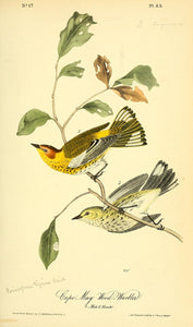 AUDUBON, John James (1785 - 1851). Plate 85, Cape May Wood Warbler