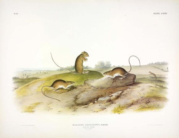 AUDUBON, John James (1785-1851) Vol. II, Plate 85, Meadow Jumping Mouse