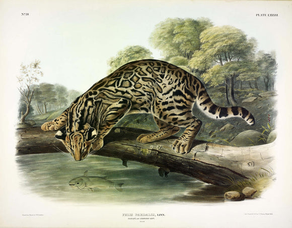 AUDUBON, John James (1785-1851) Vol. II, Plate 86, Ocelot