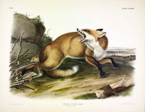 AUDUBON, John James (1785-1851) Vol. II, Plate 87, American Red Fox