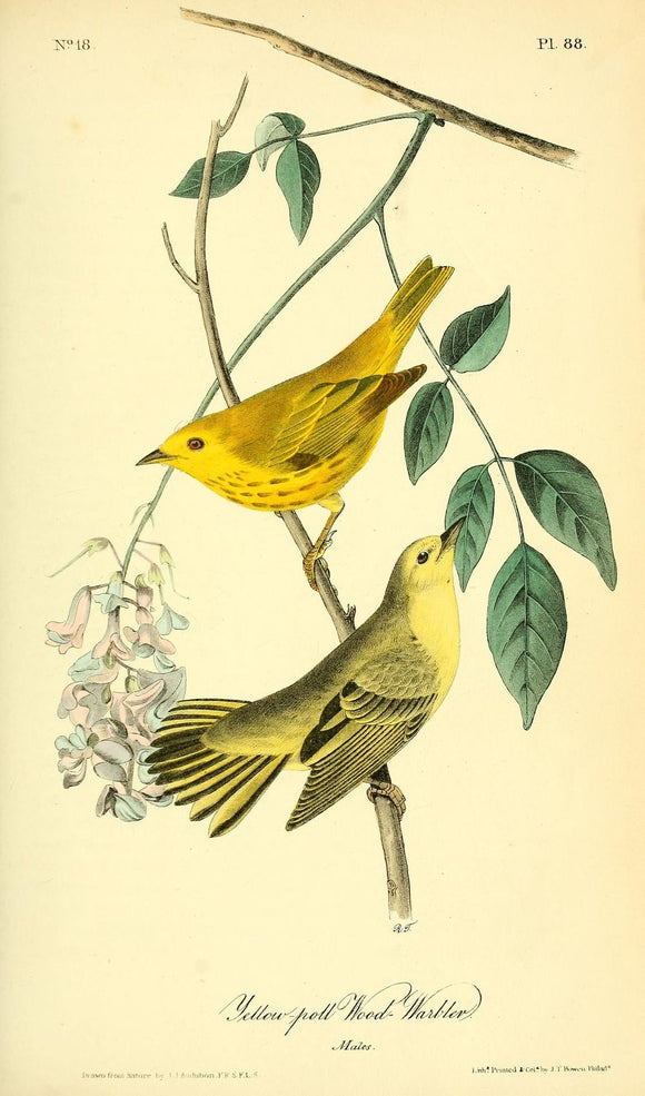 AUDUBON, John James (1785 - 1851). Plate 88, Yellow-poll Wood Warbler