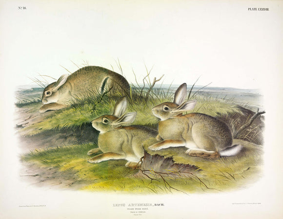 AUDUBON, John James (1785-1851) Vol. II, Plate 88, Wormwood Hare