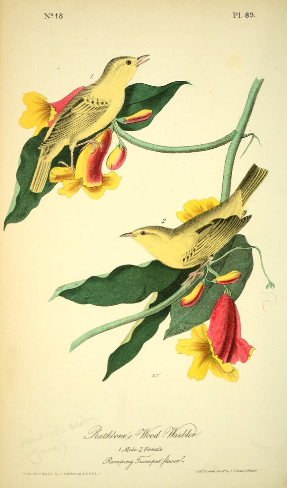 AUDUBON, John James (1785 - 1851). Plate 89, Rathbone's Wood Warbler
