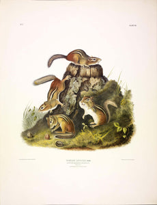 AUDUBON, John James (1785-1851) Vol. I, Plate 8, Chipping Squirrel