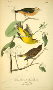 Plate 90, Yellow Red poll Wood-Warbler