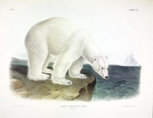 AUDUBON, John James (1785-1851) Vol. II, Plate 91, Polar Bear