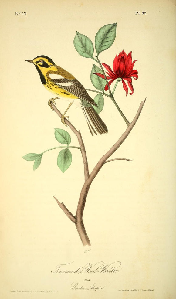 AUDUBON, John James (1785 - 1851). Plate 92, Townsend's Wood Warbler