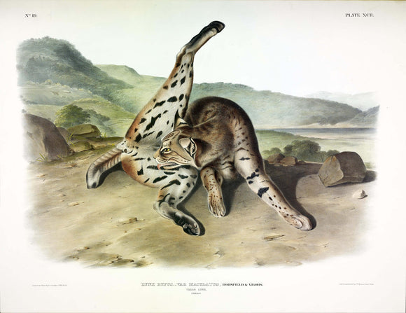 AUDUBON, John James (1785-1851) Vol. II, Plate 92, Texan Lynx