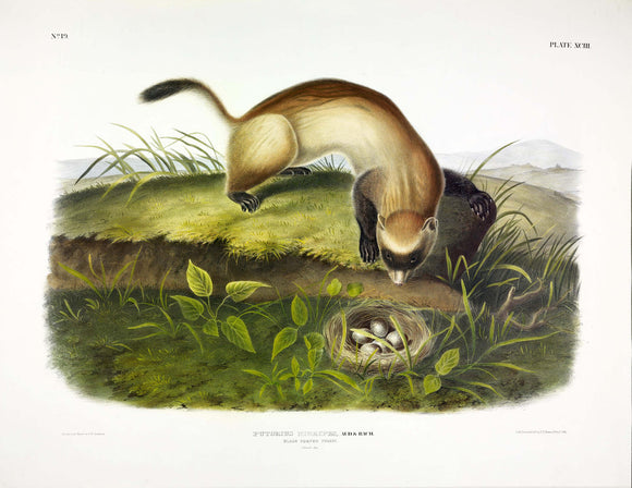 AUDUBON, John James (1785-1851) Vol. II, Plate 93, Black Footed Ferret