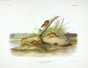 AUDUBON, John James (1785-1851) Vol. II, Plate 95, Orange-colored Mouse