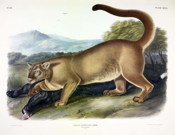 AUDUBON, John James (1785-1851) Vol. II, Plate 96, Cougar (Male)