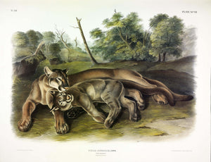 AUDUBON, John James (1785-1851) Vol. II, Plate 97, Cougar (Female and Young)