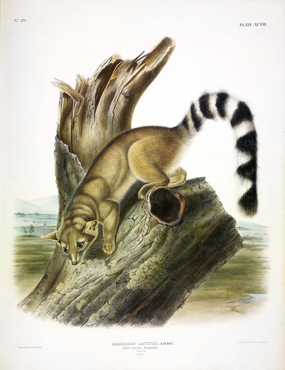 AUDUBON, John James (1785-1851) Vol. II, Plate 98, Ring-tailed Bassarius