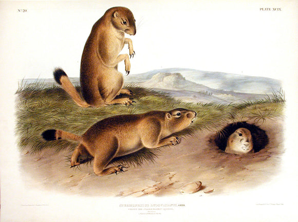 AUDUBON, John James (1785-1851) Vol. II, Plate 99, Prairie Dog