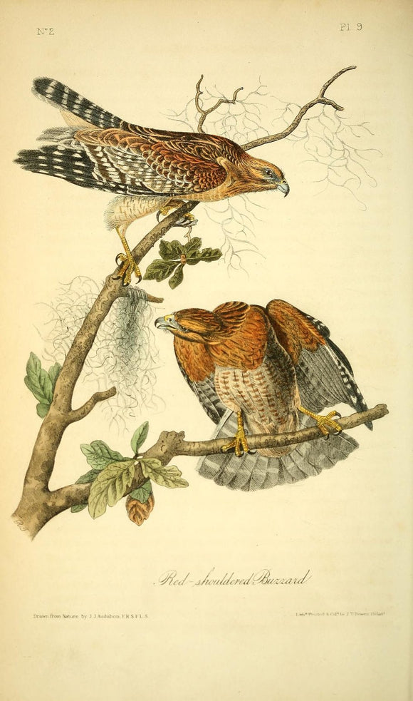 AUDUBON, John James (1785 - 1851). Plate 9, Red-shouldered Buzzard