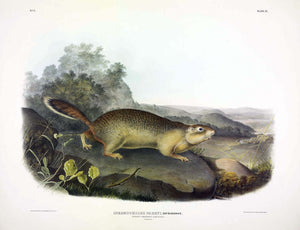 AUDUBON, John James (1785-1851) Vol. I, Plate 9, Parry's Marmot Squirrel