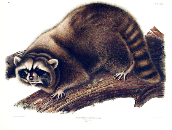 Raccoon, Plate 61