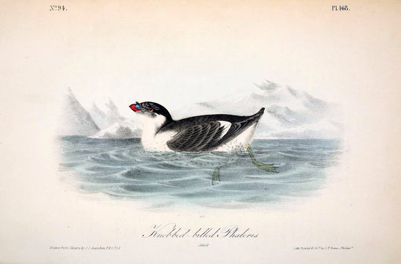 Plate 468, Knobbed-billed Phaleris