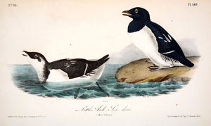 Plate 469, Little Auk- Sea dove