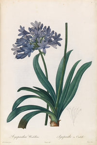 redout-pierre-joseph-1759-1840-plate-4-lily-of-the-nile-agapanthus-umbellatus