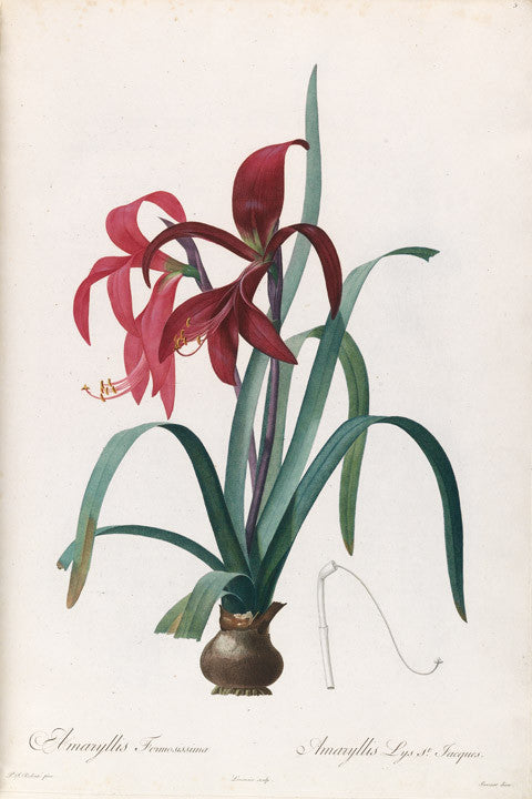 redout-pierre-joseph-1759-1840-plate-5-jacobean-lily-amaryllis-formosissima