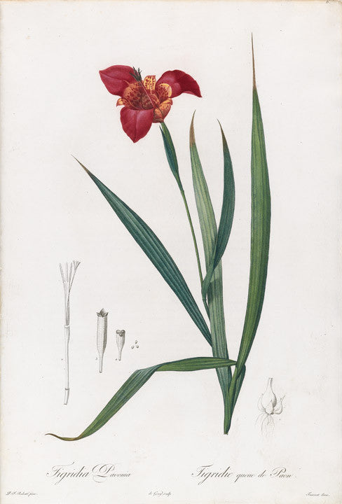 redout-pierre-joseph-1759-1840-plate-6-tiger-flower-tigridia-pavonia