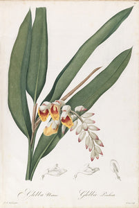 redout-pierre-joseph-1759-1840-plate-60-shell-ginger-pink-porcelain-lily-globba-nutans