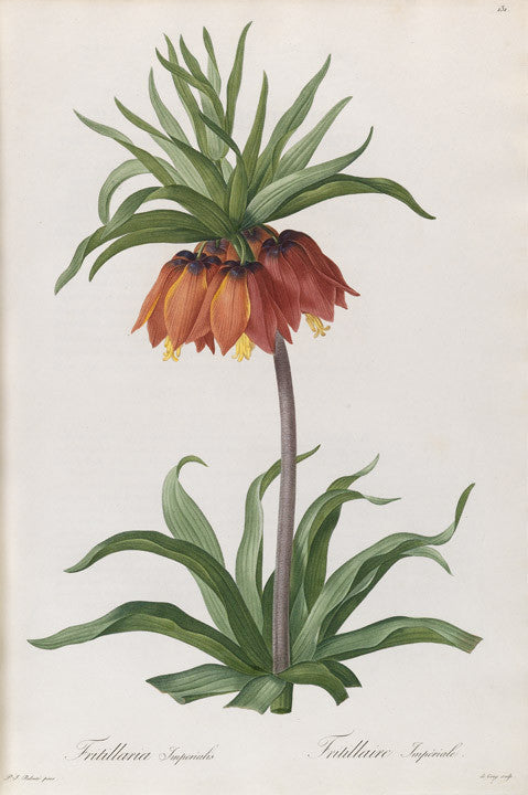redout-pierre-joseph-1759-1840-plate-131-crown-imperial-fritillaria-imperialis