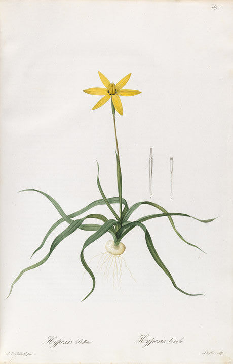 redout-pierre-joseph-1759-1840-plate-169-peacock-flower-hypoxis-stellata