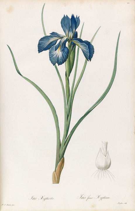 redout-pierre-joseph-1759-1840-plate-212-broad-leaved-iris-iris-xyphioides