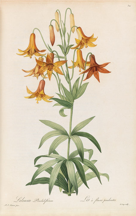 redout-pierre-joseph-1759-1840-plate-301-meadow-lily-lilium-canadense