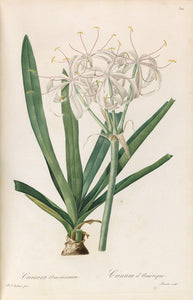 redout-pierre-joseph-1759-1840-plate-322-blush-colored-crinum-crinum-commelini