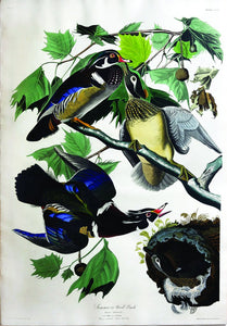 John James Audubon (1785-1851), Plate CCVI Summer or Wood Duck