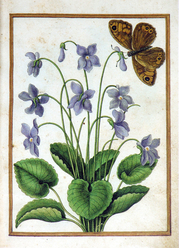 JACQUES LE MOYNE DE MORGUES (FRENCH, CA. 1533-1588) f.2: Sweet Violet and butterfly Watercolor and gouache on paper prepared as vellum